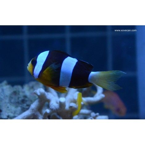 Amphiprion Clarkii Foto 1 Xovecan 21-05-2014