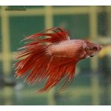 Betta Splendens Cola Corona